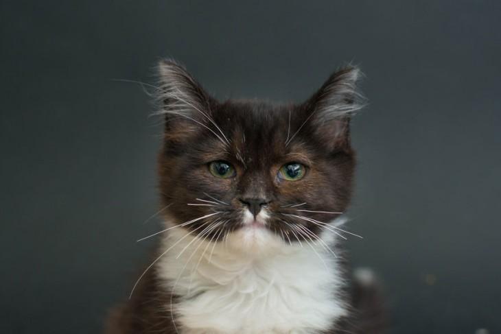 cara de un gato negro con un mancha blanca en el pecho