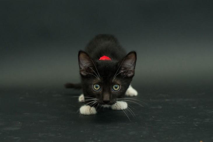 pequeño gato en color negro mirando hacia enfrente con un collar rojo