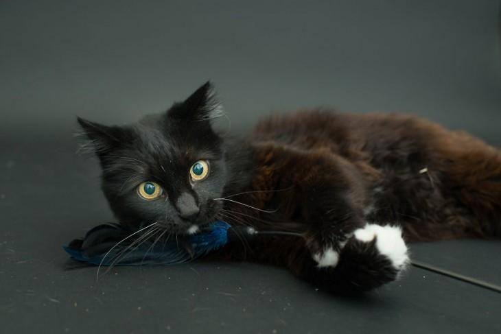 Gato negro acostado de lado mirando hacia arriba