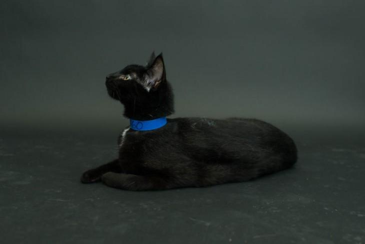 gato negro acostado de perfil volteando hacia arriba con un collar azul