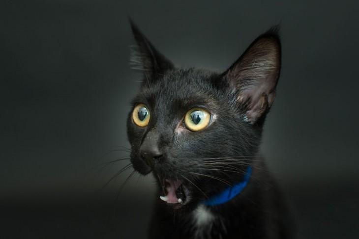 un gato negro con el hocico abierto viendo hacia un lado