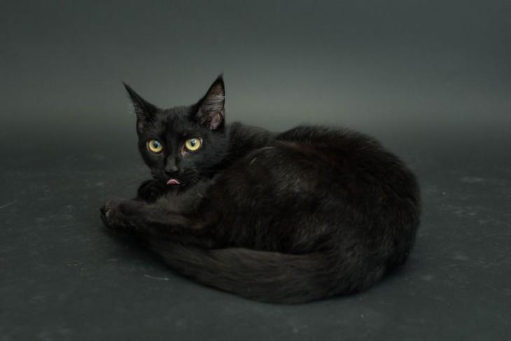 gato negro acostado en el piso sacando la lengua