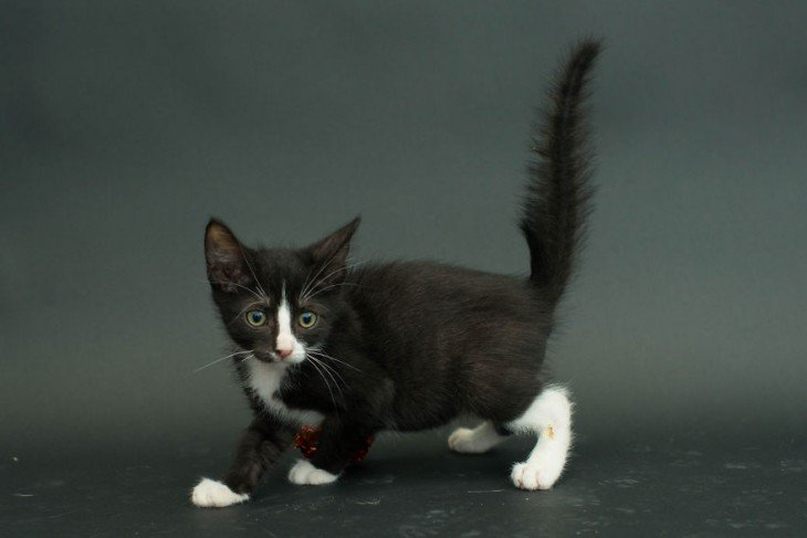 gato negro con manchas blancas parado de lado mirando hacia enfrente