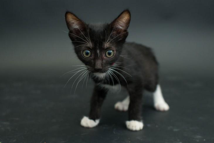 pequeño gatito negro con manchas blancas mirando hacia enfrente