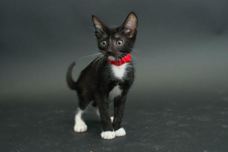 Gatito negro con manchas blancas y parado con un collar rojo