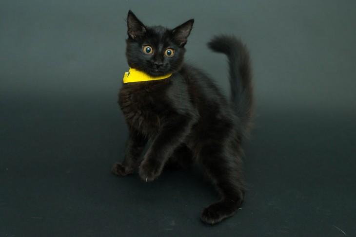 gato en color negro con un collar amarillo parado en dos patas