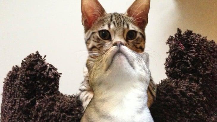 cabeza de un gato sobre la cabeza de otro que juntas parecen ser una sola