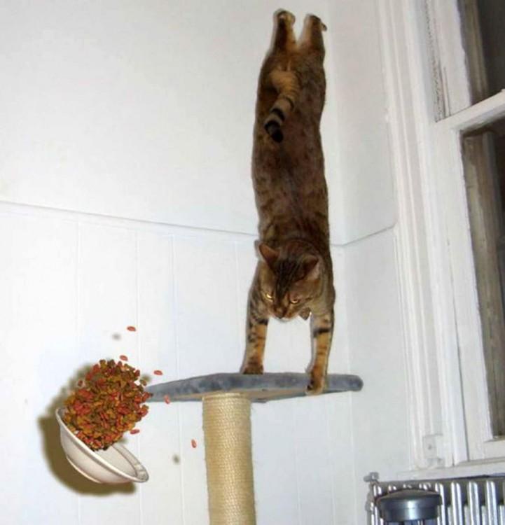 gato parado en dos patas y frente a el una plato de croquetas cayendo