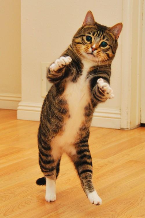 gato parado en dos patas estirando sus dos patas