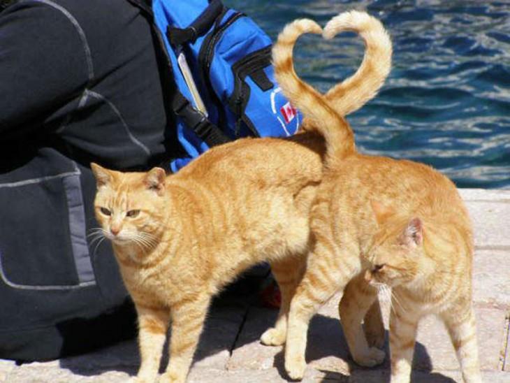 fotos de dos gatos formando un corazón con sus colas