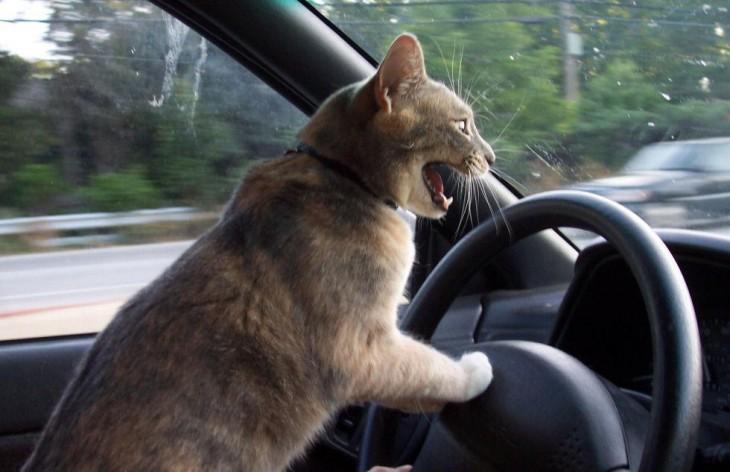 foto de un gato frente a un volante dentro de un coche
