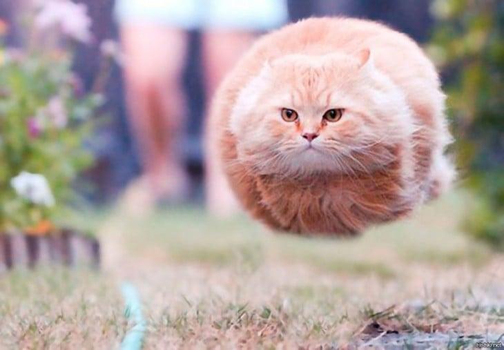 gato amarillo saltando