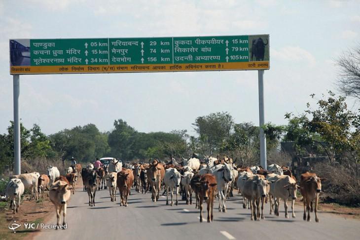 vacas caminando en medio de una carretera en Chhattisgarh, India