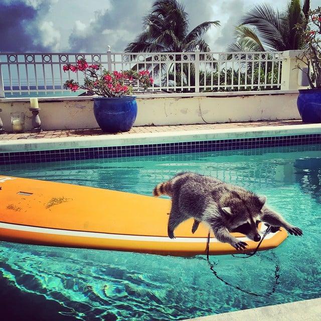Rescatan a esta Mapache, la Adoptan y ahora se cree Perro!