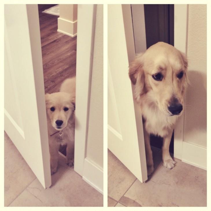 perro labrador color beige