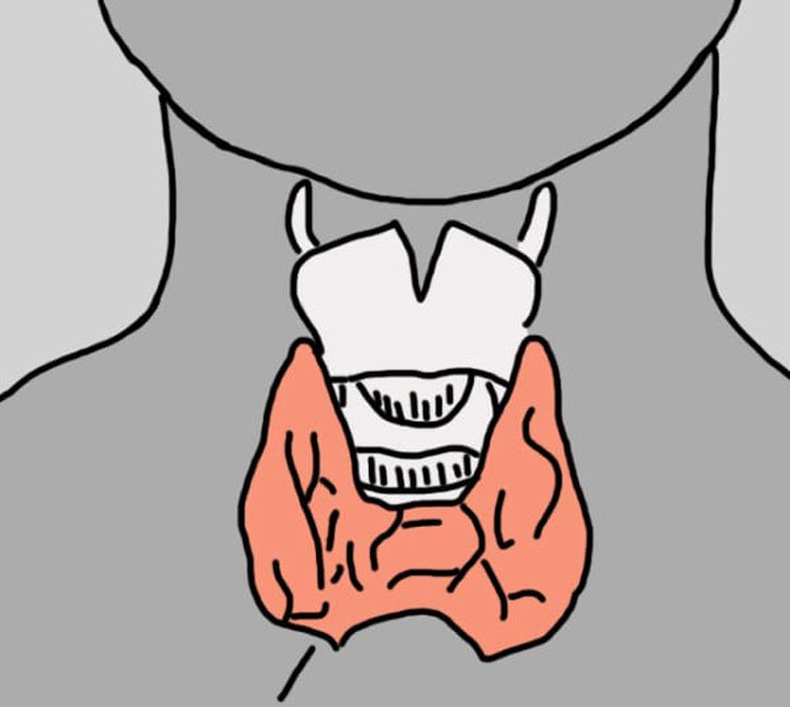 dibujo que muestra donde esta ubicada la tiroides