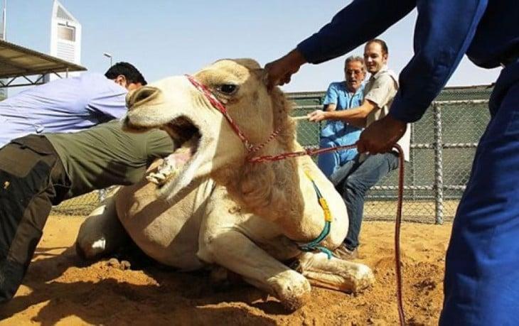 foto de un camello que parece estar comiéndose a un hombre