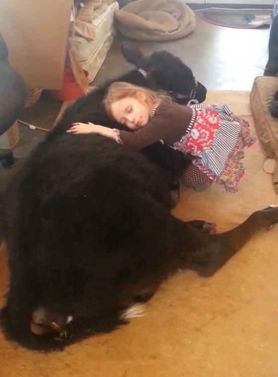 niña abrazando a ternero que meti+o a su casa