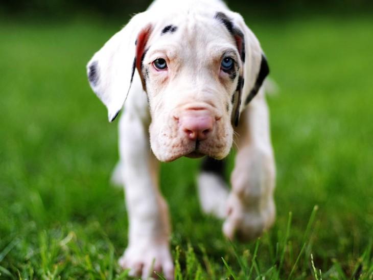 perro gran danés de cachorro