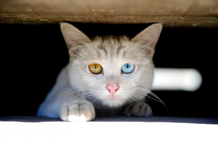 gato con los ojos de diferente color