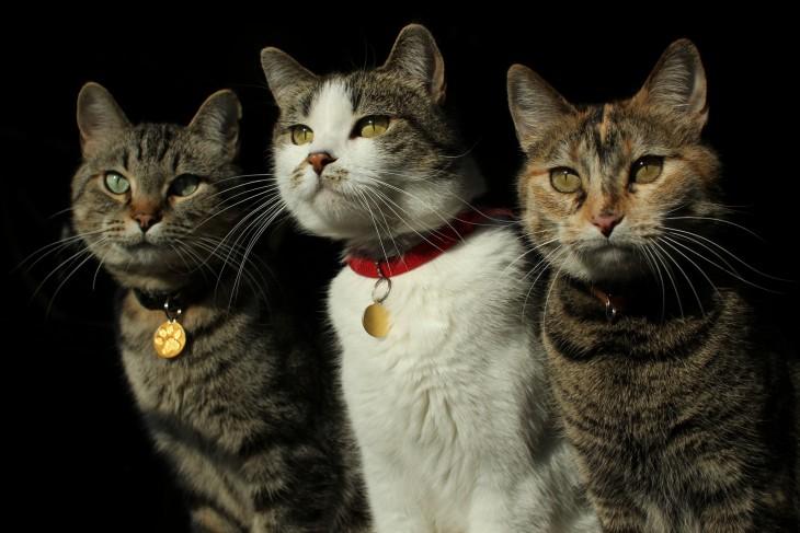amigos gatos como los tres mosqueteros