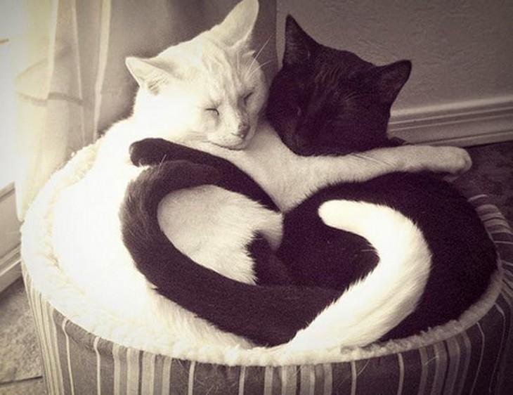 gato negro y blanco entrelazando colas de corazón