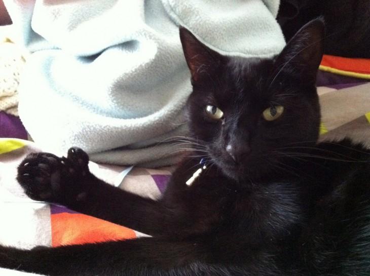 los gatos con trespulgares suelen ser muy extraños pero los hay