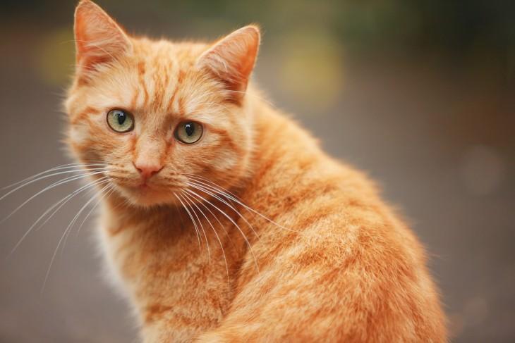 gato rojo que parece triste