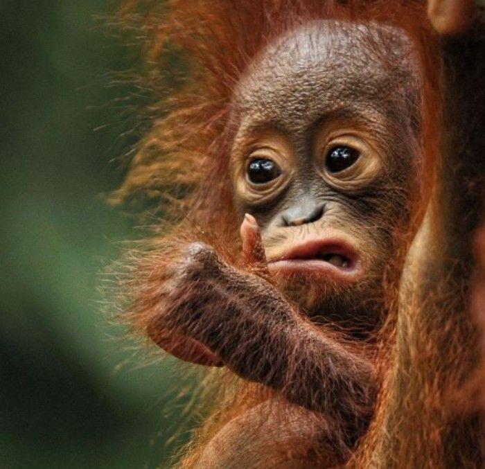orangutan haciendo caras extrañs