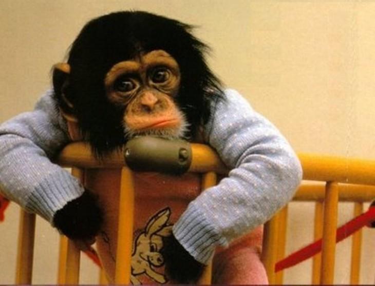chimpance en la cuna