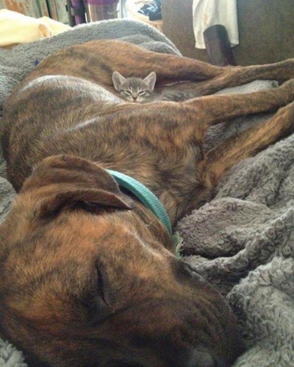 Perro atigrado con un gato entre las patas traseras