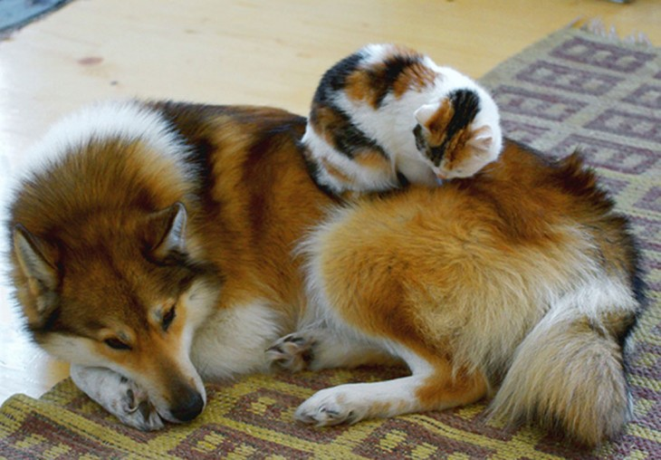 gato y perro con casi los mismos colores recostados el gato sobre el perrio