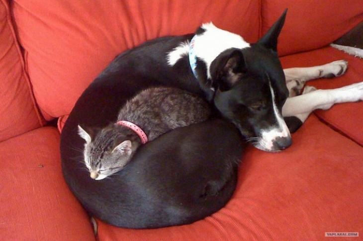 ying yang en perro y gatos juntos