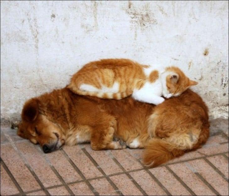 gato encima de un perro y lo utiliza como almohada