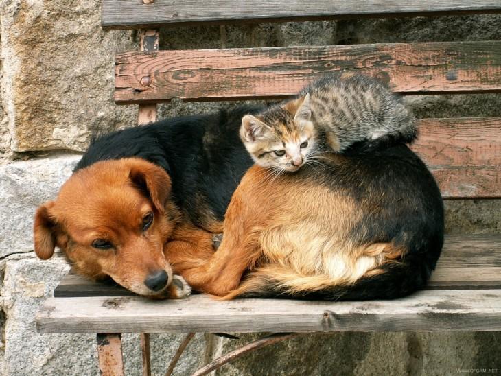 gato malhado em um cão Creole