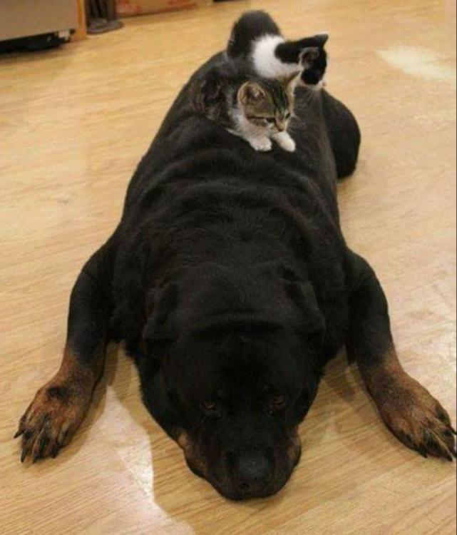 Dos gatitos encima de un rottweiler dormido