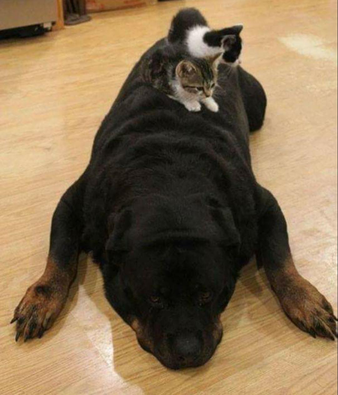 25 Adorables Gatos Que Utilizaron Al Perro Como Almohada
