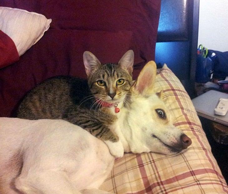 gato malhado sobre cão branco que parece corgi