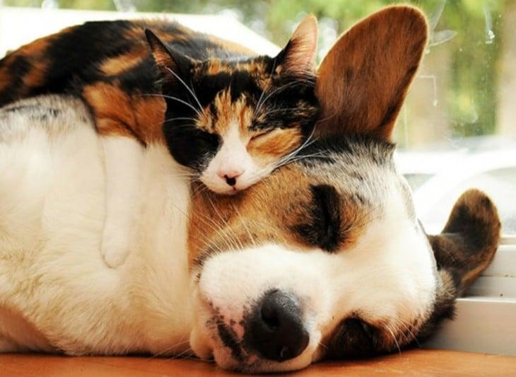 gata recargada en el cuello de un perro corgi