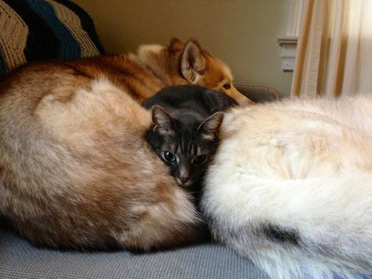 Um gato que encontra-se entre dois cães muito placidamente