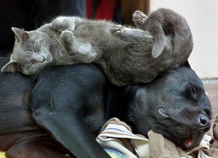 gato gris acostado sobre el mastin napolitano negro en su regazo