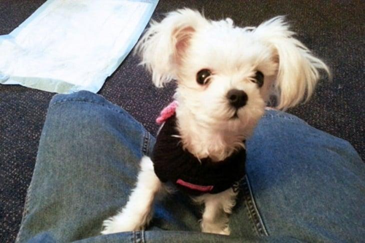 Charlotte perrita que fue rescatada después de ser maltratada
