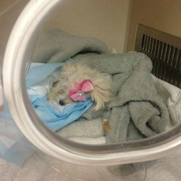 perrita acostada dentro de una cápsula de un veterinario