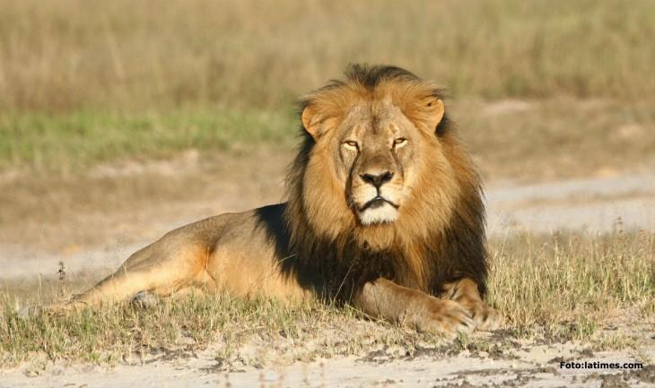un león acostado en el suelo en un poco de pasto seco
