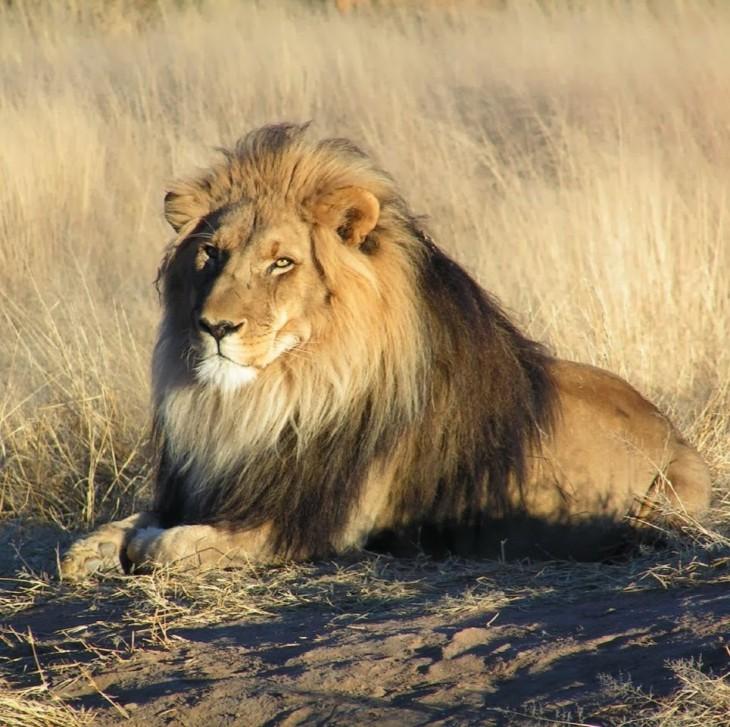 león echado en el suelo cerca de un pastizal seco