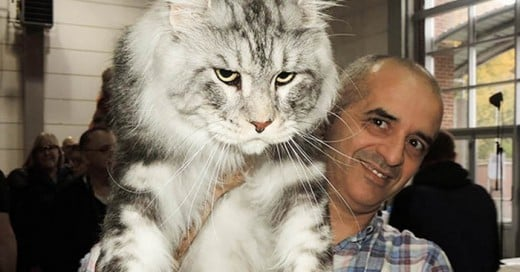 Los gatos mas enormes del mundo