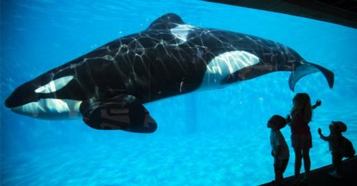 Termina el encierro de las orcas