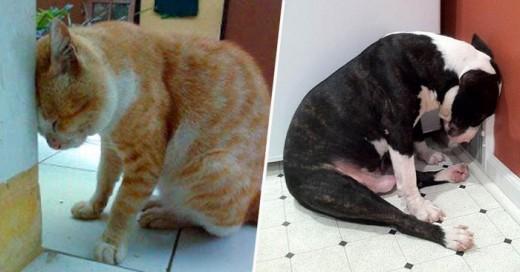 El recargar la cabeza en la pared cualquier mascota es síntoma de una grave enfermedad