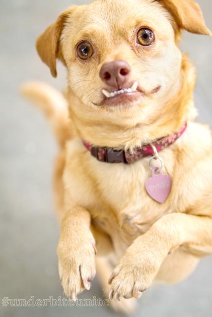 Daisy la perrita con discapacidad en su patas delanteras