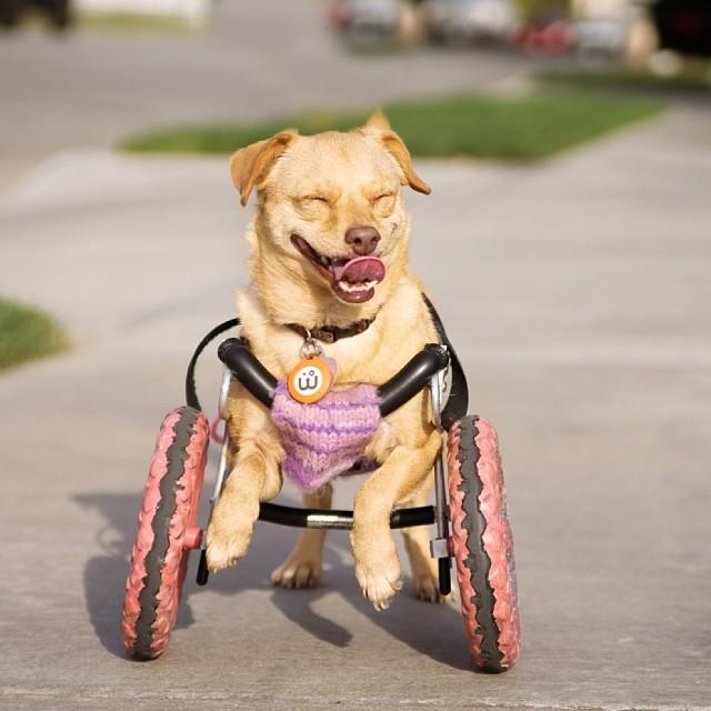 pequeña perrita sobre una silla de ruedas
